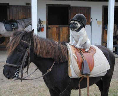 pug dog jockey on a horse